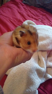 Need to find a home for a 2 month old hamster