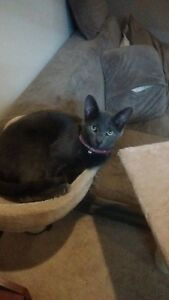 LOST GREY CAT WITH COLLAR