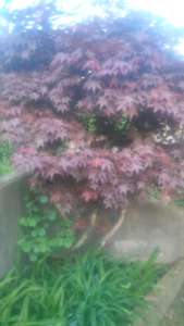 Japanese blood red maple