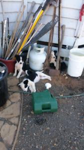 Border collie pups.