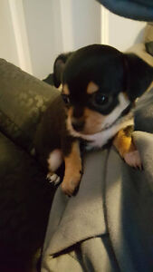 2 females puppies chihuahuas for sale.
