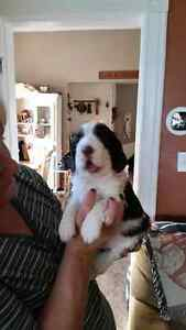 3 Male English Springer Spaniel Puppies
