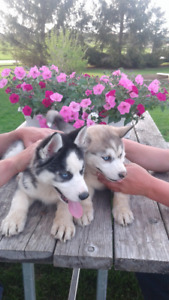 2 Playful Siberian Husky Females Ready To Go(only 1 left)