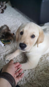 Beautiful golden retriever & lab mix for rehoming