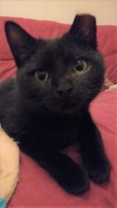 """Sky"" - adorable black male cat for adoption"