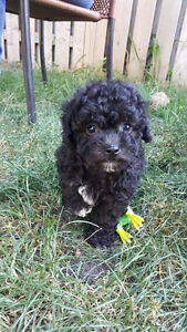 BEAUTIFUL MALTIPOO PUPPIES - ONE FEMALE LEFT