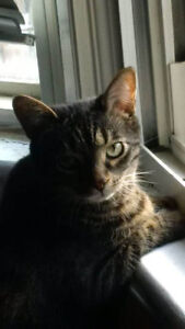 Lost male brown tabby cat!