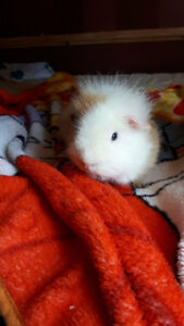 Cochon d'Inde avec cage