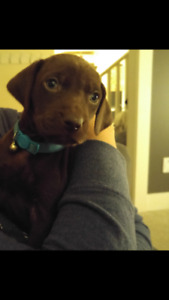 German Shorthaired Pointer / Chocolate Lab pups for sale: