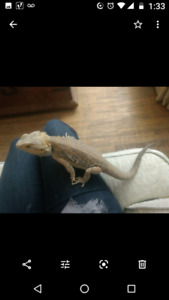 Unique male red Bearded Dragon 3.5 years old