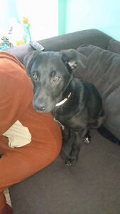 Paws for Love dog rescue has a 5 month  lab mix for adoption