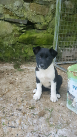 Pedigree female collie pups