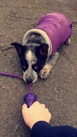 Adorable purple dog coat, has attachable hood Size M
