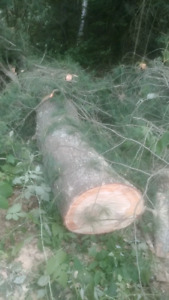 White pine saw logs