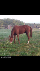 5 yr old gelding NEW PRICE For a quick sale