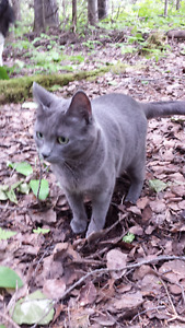 Lost Grey Cat Green Eyes from Chief Lake Area