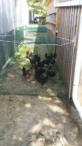 20 Black Sexlink Chickens For Sale. 1 Rooster - 19 Hens