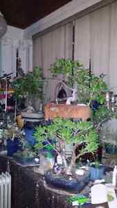 The Jaded Bonsai Collection.  Cambridge Kitchener Area image 9