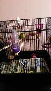 5 month old green color budgie with cage food every thing