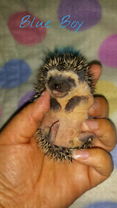 Hoglets Available at Peace Country Hedgehogs