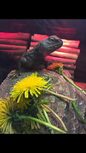 Mali uromastyx with complete set up