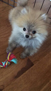 Tiny Tea Cup Pom looking for forever home