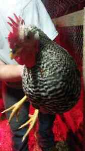 Barred rock roosters for sale