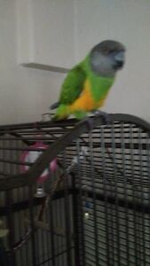 Female Senegal Parrot. 5 years old. Likes woman, 1 person bird.