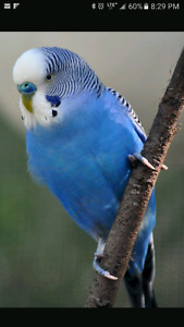 LOST BUDGIE BIRD