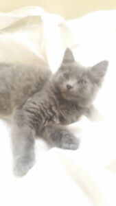Maine Coon only one female left  willing to negoiate price!!