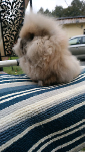 Quality JR Lionheads