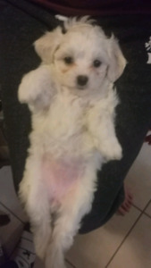 Maltipoo puppies ready to go to their new home