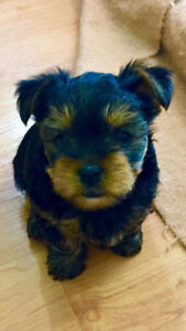 VANCOUVER TOY MALE YORKIE
