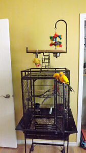 Couple de conures