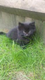 Black fluffy kittens