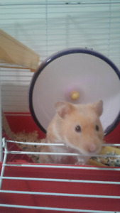 WANTED-MALE SYRIAN HAMSTER