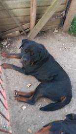Rottweiler puppies kc registered