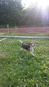 Female beagle forsale SOLD