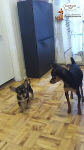 DAYCARE/SLEEPOVERS(SMALL DOGS)IN CAGE-FREE HOME SINCE 2010 West Island Greater Montréal image 4