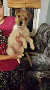 Jack russell chiot femelle