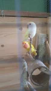 Breeding pair of lovebirds and cage