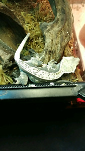 2 crested geckos and tank