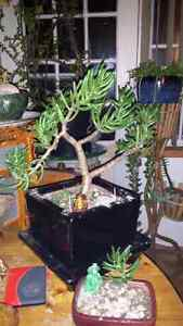 The Jaded Bonsai Collection.  Cambridge Kitchener Area image 1