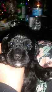 American cocker spaniel puppies.  Only 2 left Kitchener / Waterloo Kitchener Area image 6