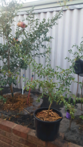 Promegranate plant  for sale ! Grow Large Fruit Canning Vale Canning Area Preview