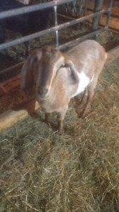 Yearling Nubians / only the wether remains to be sold