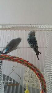 PAIR OF ENGLISH BUDGIES FOR SALE WITH CAGE
