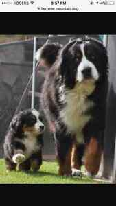 Looking for a Bernese Mountain dog puppy or young dog