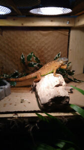 Iguana, cage and all accessories