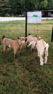 Registered Nigerian Dwarf Buck Goats INTACT breeding boys Peterborough Peterborough Area image 1